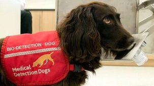 سگها برای تشخیص بیماری کرونا آموزش مییابند