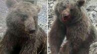 یکی از ضاربان توله خرس قهوه ای دستگیر شد