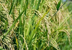 امسال دو میلیون و ۹۰۰ هزار تن برنج در کشور تولید شد