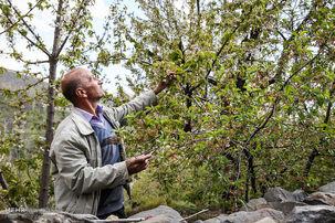 افزایش 50 درصدی کارگران میوه چین در سال 99