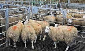 ذبح گوسفنذ برای عید قربان