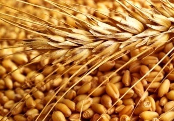 دولت جدید باید ۶ میلیون تن گندم وارد کند