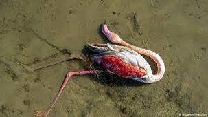 علت مرگ و میر پرندگان میانکاله مشخص شد