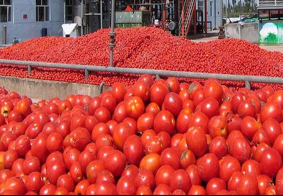 خرید 240 هزار تن گوجه فرنگی از کشاورزان