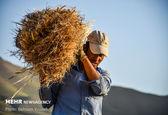 کرونا باعث کاهش تولید و تجارت برنج، گندم و ذرت در جهان شده است