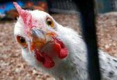 قیمت 30 هزار تومانی برای هر کیلوگرم مرغ، سودجویی است/ نرخ منطقی مرغ؛ حداکثر ۲۵ هزار تومان!