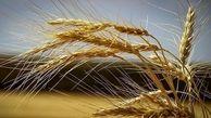 هرز رفت حداقل یک میلیون تن گندم به سمت خوراک دام و طیور