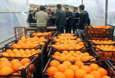 فروش 72 درصد از میوههای تنطیم بازار