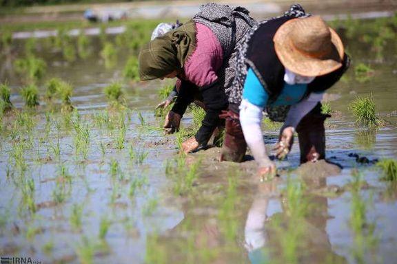 تولید برنج در ایران به سقف خود رسید