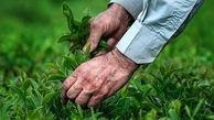 خریداری شدن 53 هزار تن برگ چای از چایکاران شمال کشور