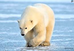 تصاویری از بازی خرس قطبی با کارگری در آکواریوم بلژیک