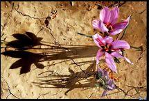 صادرات زعفران با نرخ بورس کالا