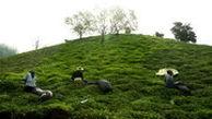 وزارت کشاورزی قیمت خرید تضمینی چغندر قند و برگ سبز چای را تعیین و ابلاغ کرد