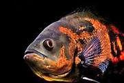زنده نگه داشتن ماهی به مدت ۷۲ ساعت بدون آب