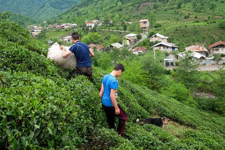 بدهی کارخانه ها به چای کاران 12 میلیارد تومان است / 80 هزار تن چای به کشور وارد می شود