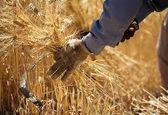 فروش تصمینی گندم توسط کشاورزان به دولت 9 درصد کاهش یافت