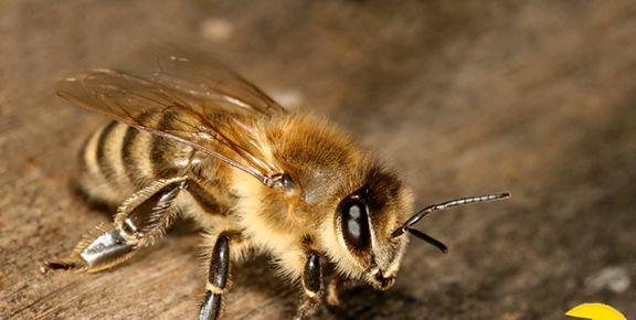 انستیتو پاستور نسبت به درمان کرونا با نیش زنبور واکنش نشان داد