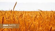 خرید 2 میلیون تن گندم تضمینی توسط دولت در سال 99