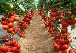 چرا گوجه فرنگی گران شد