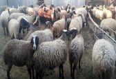 50 هزار رأس گوسفند زنده  وارد کشور میشود