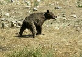 دیدن خرس با دو توله خود در سوادکوه + فیلم