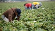 زیان کشاورزان آمریکایی به دلیل تعرفههای چین بر کالاهای آمریکایی