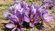 صادر کنندگان زعفران می توانند تسهیلات نیم میلیاردی دریافت کنند