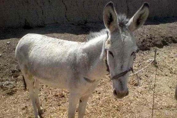 عامل بریدن گوش الاغ در مازندران شناسایی شد