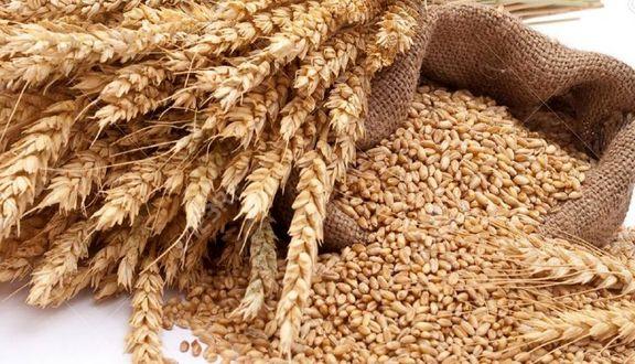 نرخ خرید تضمینی گندم  برای سال زراعی ۹۹-۹۸ تا پایان آذرماه مشخص می شود