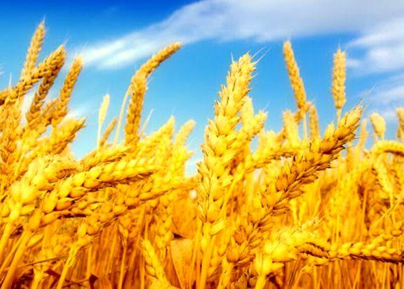 خرید تضمینی گندم و دانههای روغنی در دستور کار قرار گرفت
