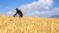 خرید تضمینی گندم کشور طی 100 روز از 5 میلیون تن فراتر رفت
