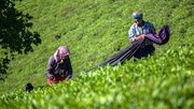 میزان 236 میلیارد تومان چای از چایکاران گیلان و مازندران خریداری شد / امسال تولید چای 10 درصد افزایش مییابد