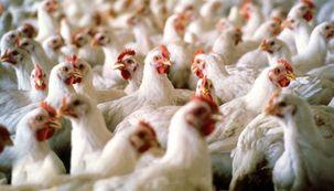 نرخ هر کیلو مرغ ۱۴ هزار و ۵۰۰ تومان