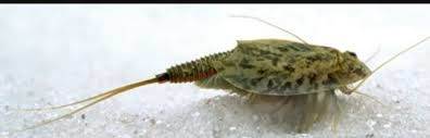 یک فسیل زنده در دریاچه هامون دیده شد + فیلم