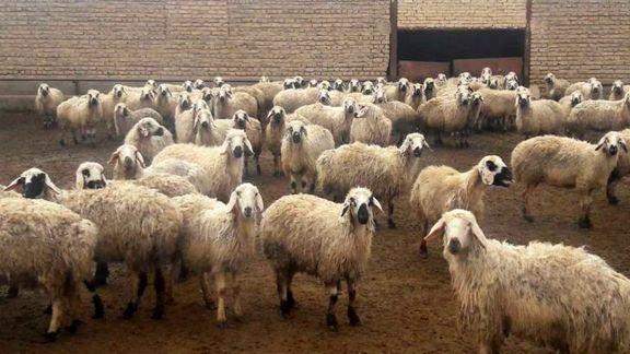 قیمت دام زنده در عید قربان ۱۴۰۰ اعلام شد
