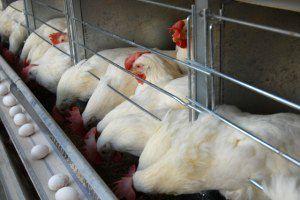 پرورش مرغ در قفس چیست و چقدر سود دارد؟