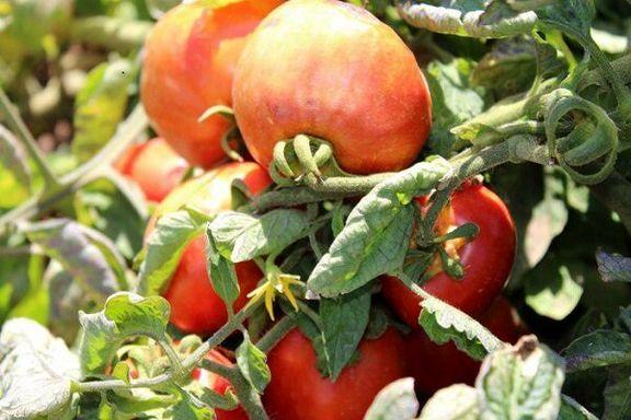 هر کیلو گوجه فرنگی بیش از 15 هزار تومان قیمت دارد